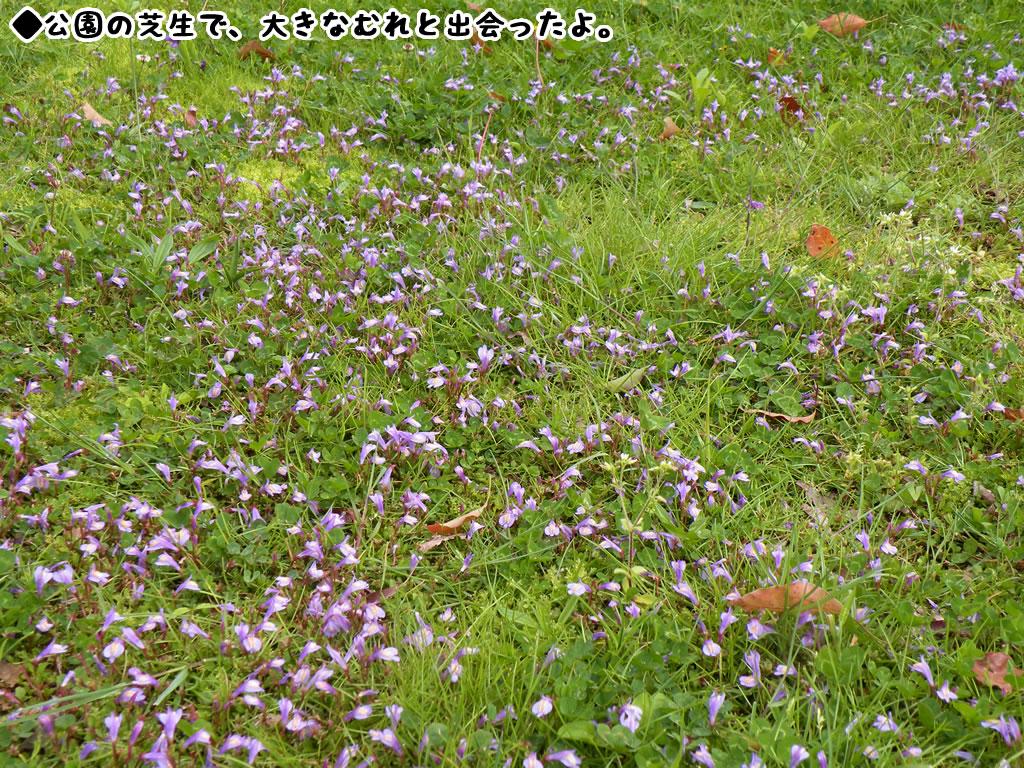 ムラサキサギゴケの画像 p1_5